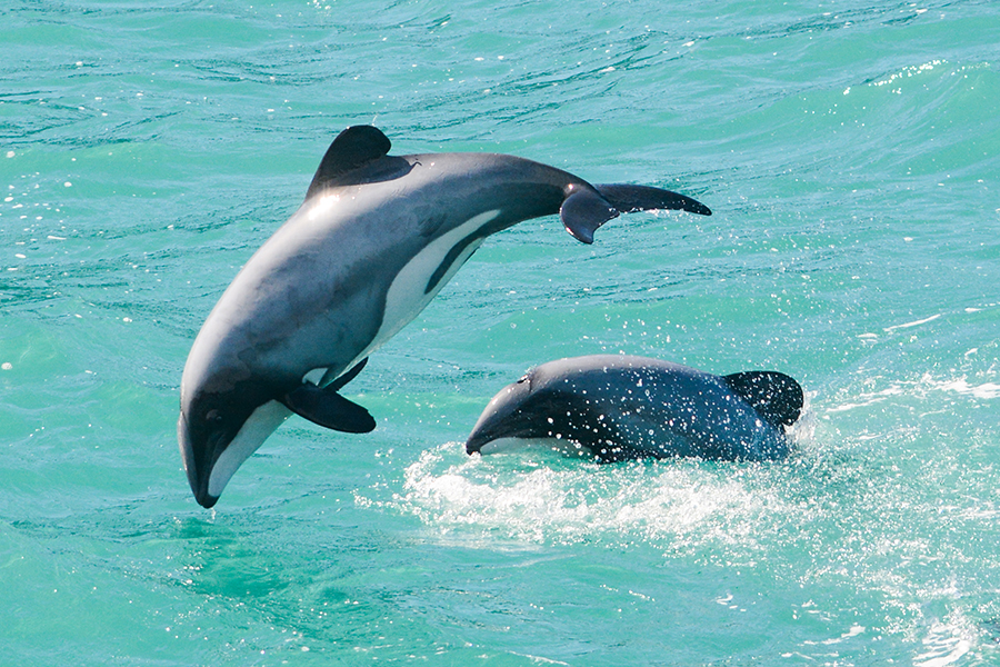 Hector's dolphins facts | Akaroa Dolphins